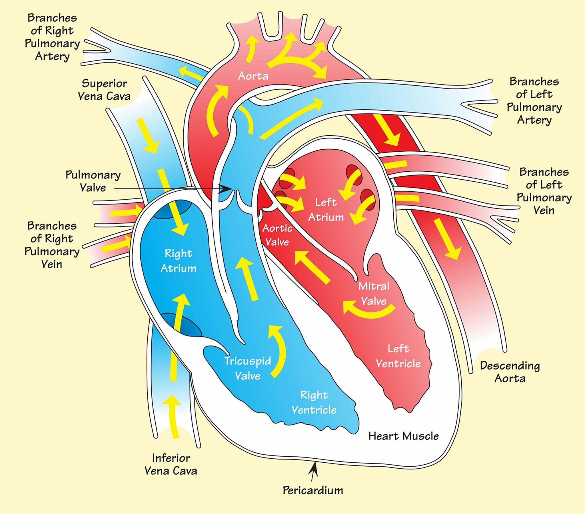 Plautinė hipertenzija: diagnostikos algoritmai ir optimali korekcija | mul.lt