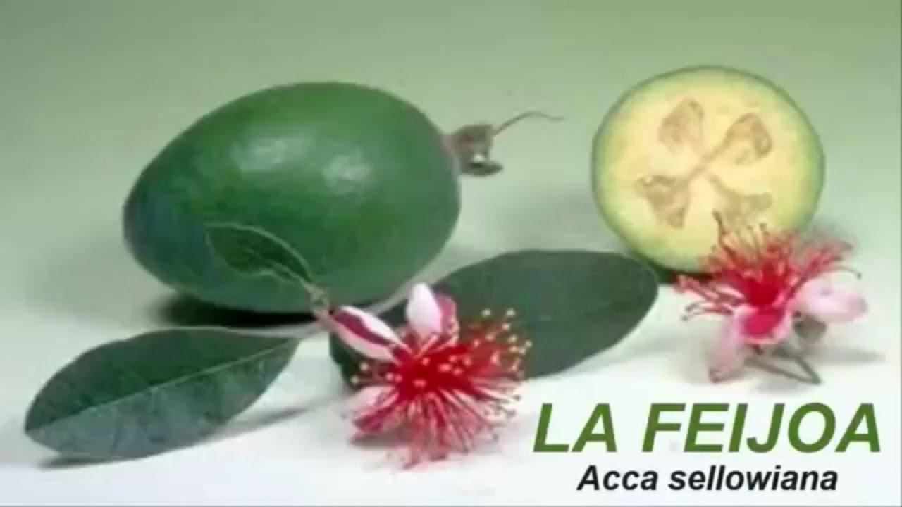 Feijoa vaisiai: nuotraukos, savybės (nauda ir žala)