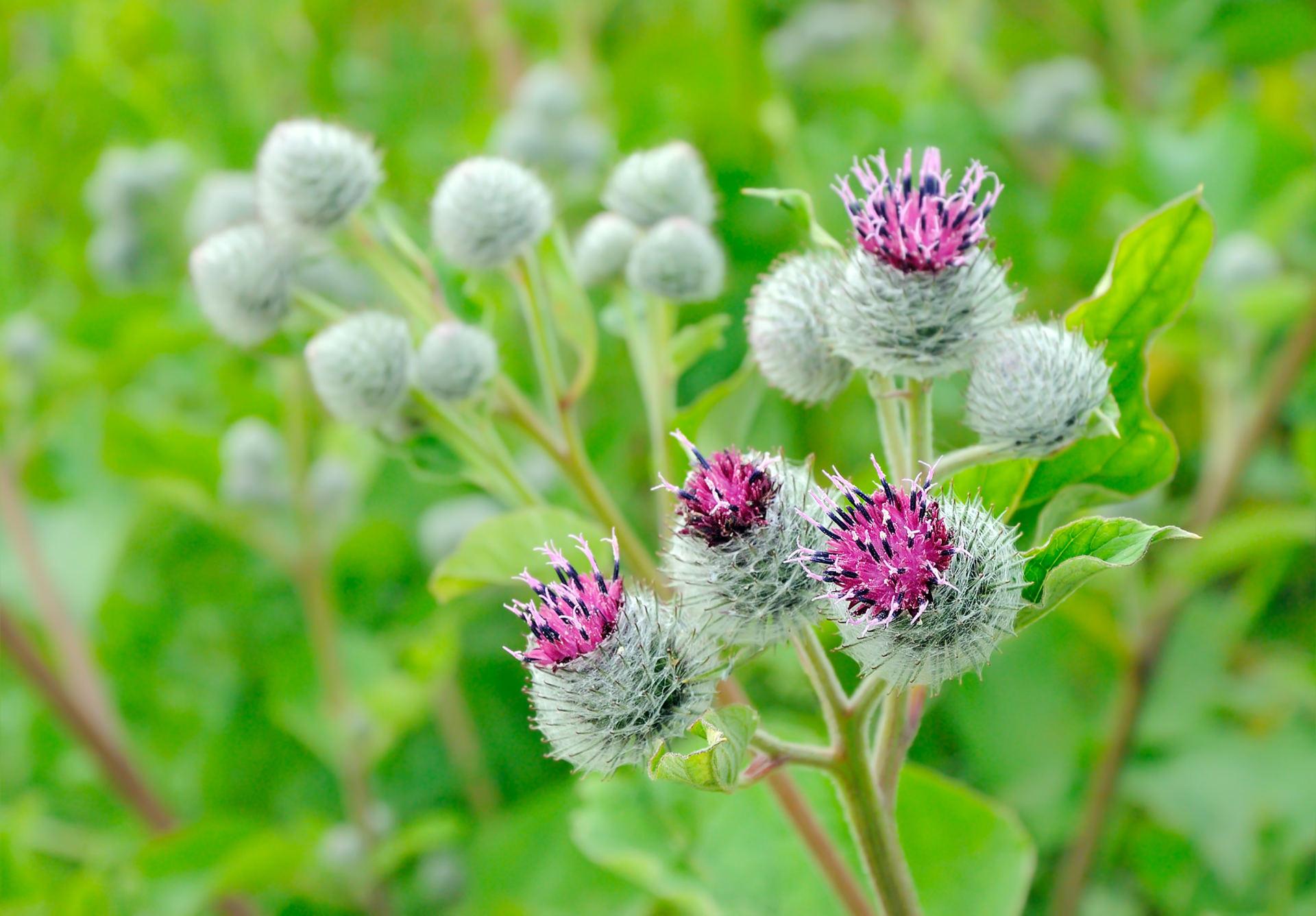 vaistinis augalas, vartojamas hipertenzijai gydyti)