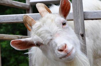 ožkos pieno nauda hipertenzijai spygliuočių vaistas nuo hipertenzijos