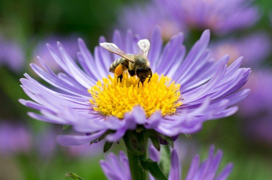 Medikai: medus slopina uždegimą ir alergiją