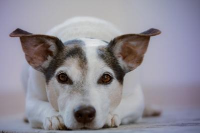 hipertenzijos simptomai šunims