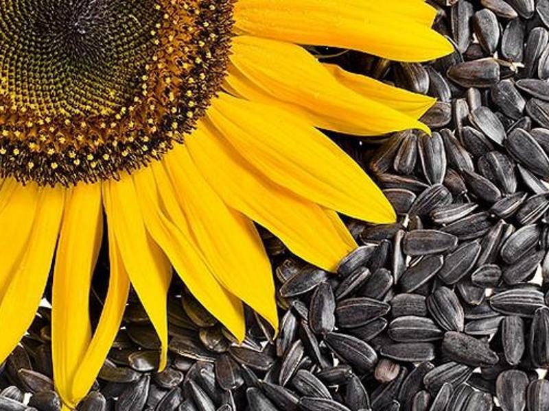 saulėgrąžų sėklos nuo hipertenzijos
