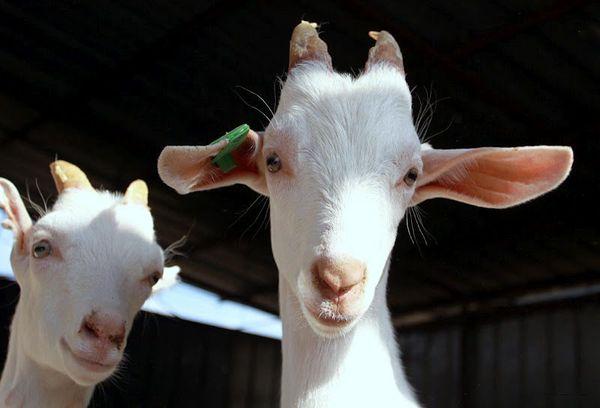 Sveikatos lobynas: gydomosios ožkų pieno savybės » SAVAITĖ – viskas, kas svarbu, įdomu ir naudinga.