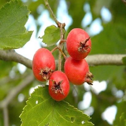Gudobelių vaisiai – mul.lt